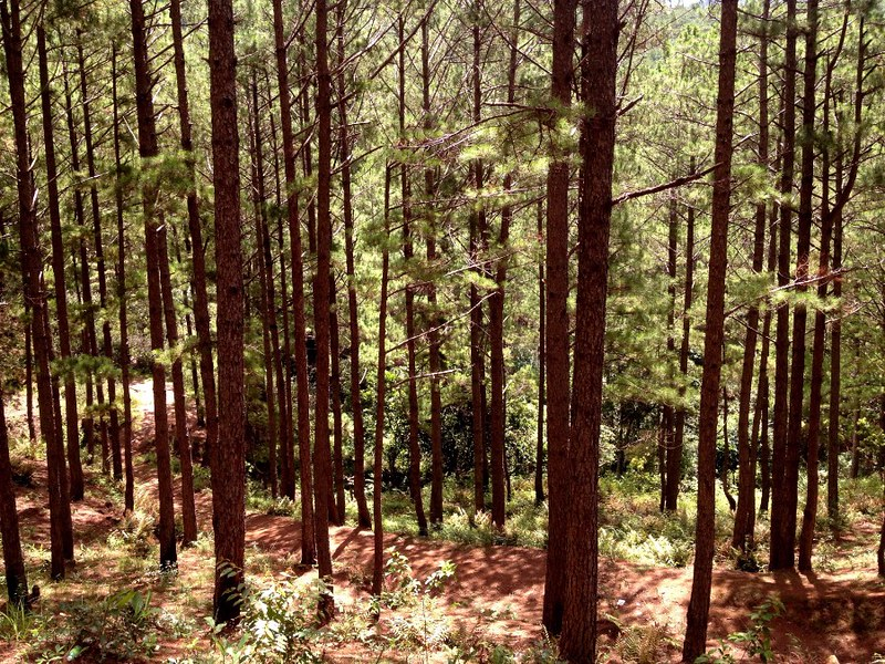 mystic pine forest in lang biang mountain in da lat