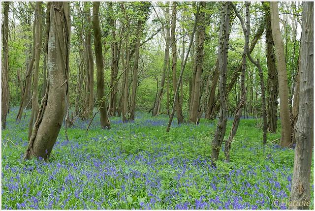 Boshyacinten in een bos waar ook de hedera zijn takken om de bomen slingert