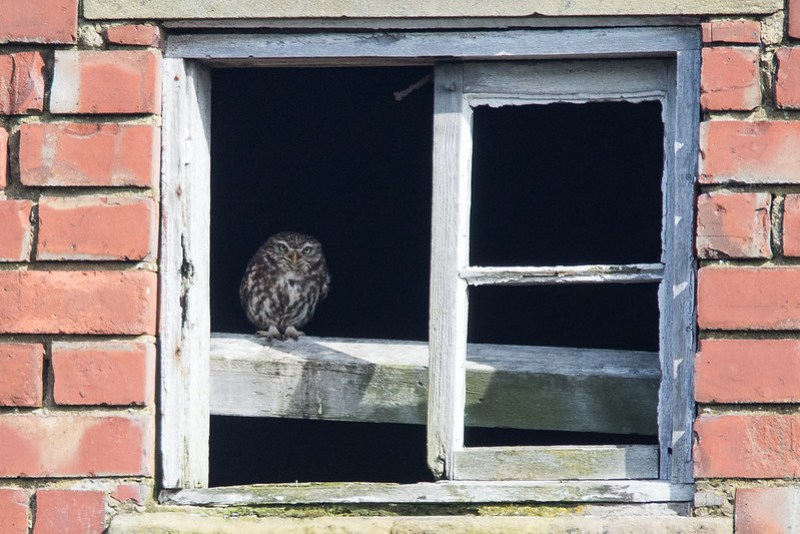 Little Owl close to Southport.