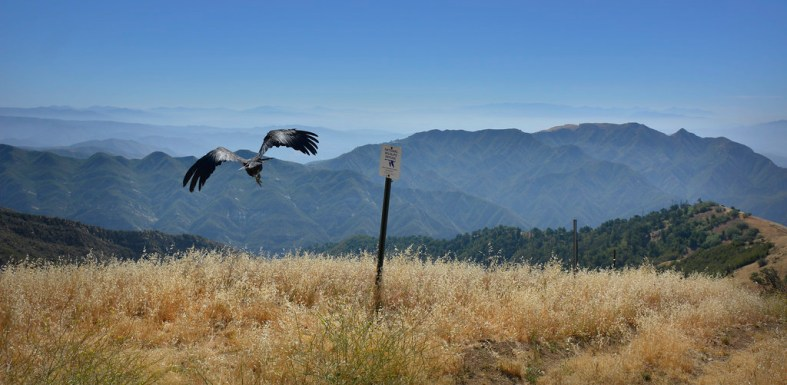 California Condor Release at Hopper Mountain NWR Near Los Padres National Forest