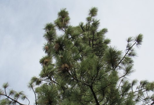 A Coulter Pine Tree