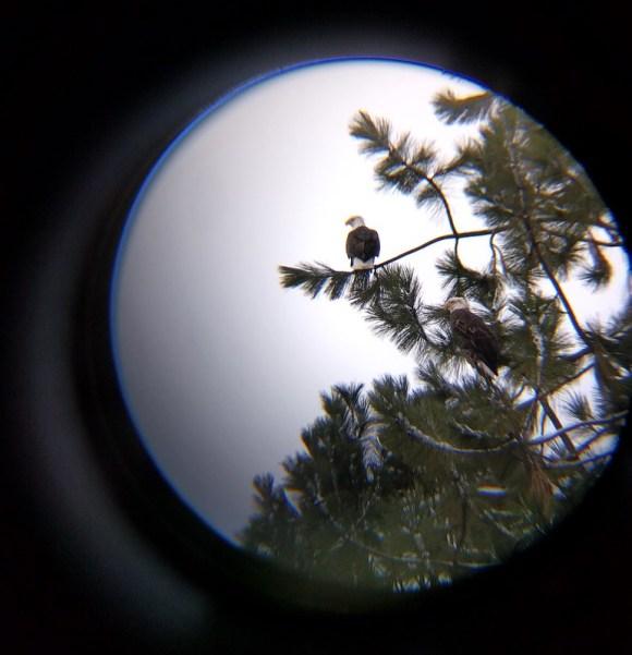 Bald eagles at Coeur d'Alene