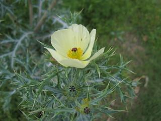 Argemone ochroleuca flower6