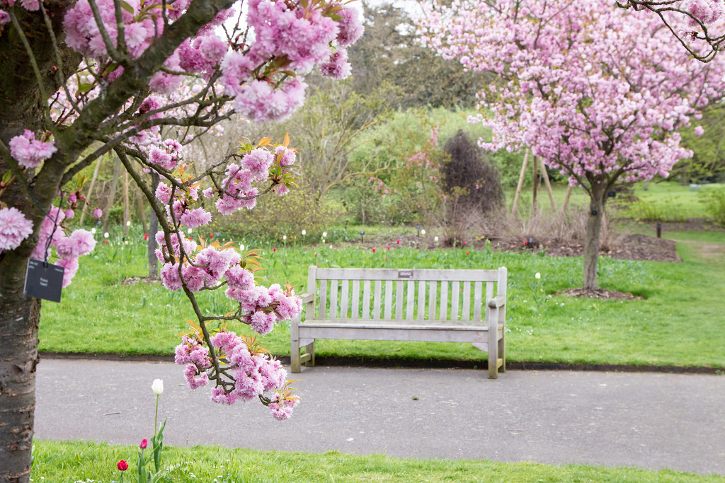 bench with cherry blossoms