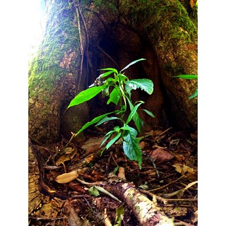 a plant before big tree hollow in doi pha hom pok mountain
