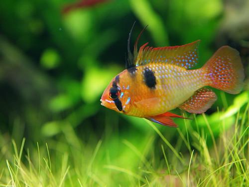P2141711 荷蘭鳳凰--公魚 | 荷蘭鳳凰 公 | legendhua | Flickr