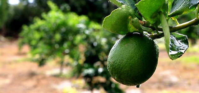 Maior produtor de limão do PA, Monte Alegre é declarada área livre de cancro cítrico, limão