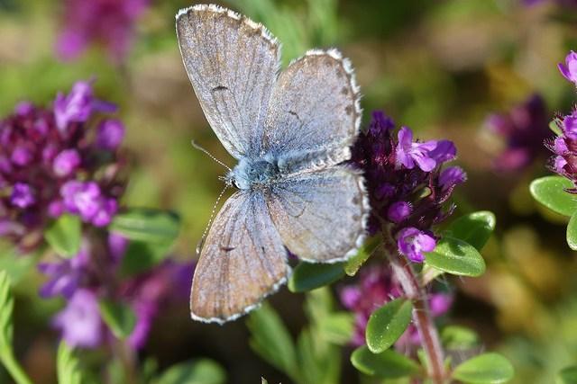 Baton Blue (Pseudophilotes baton)