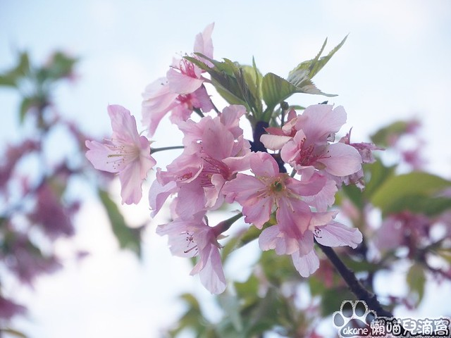 東南街櫻花