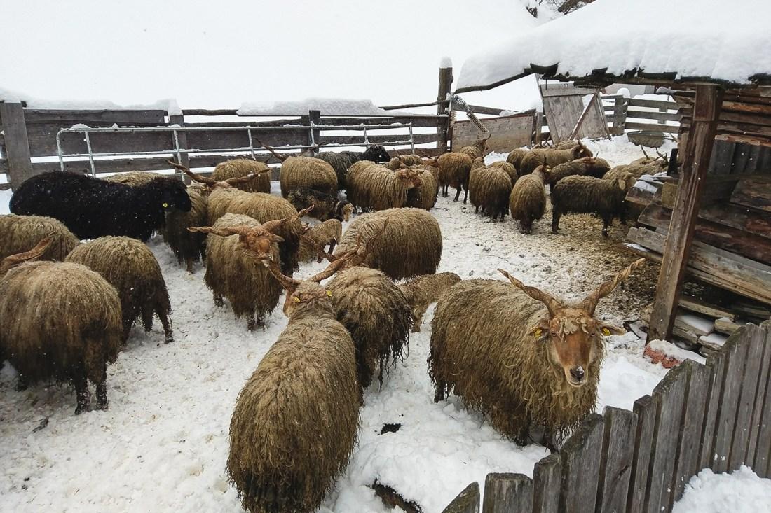 Solden - Austrian Sheep