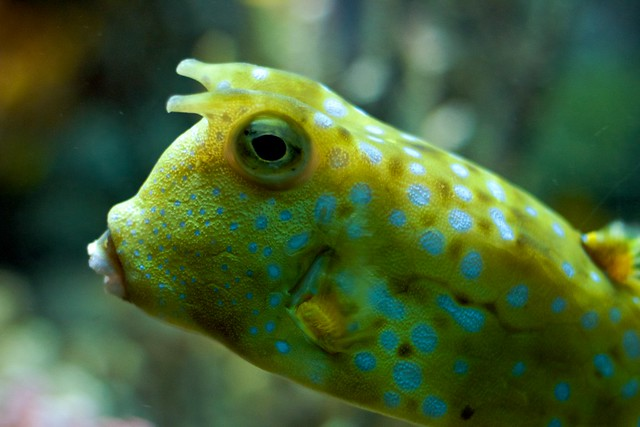 Longhorn Cowfish Swims By
