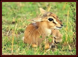 THOMSON'S GAZELLE FAWN (Gazella thomsoni)......MASAI MARA.… | Flickr