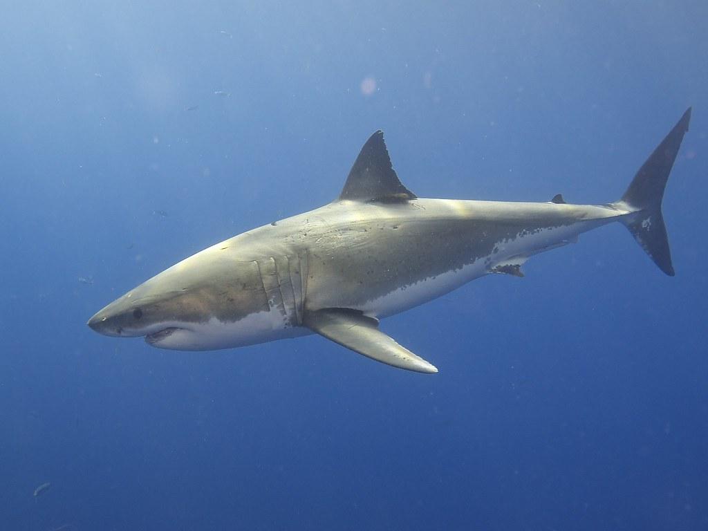 Risultati immagini per white shark