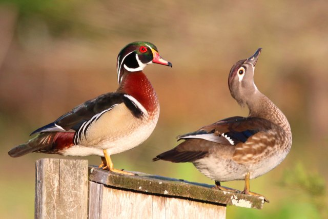 Early Morning WOOD DUCKS