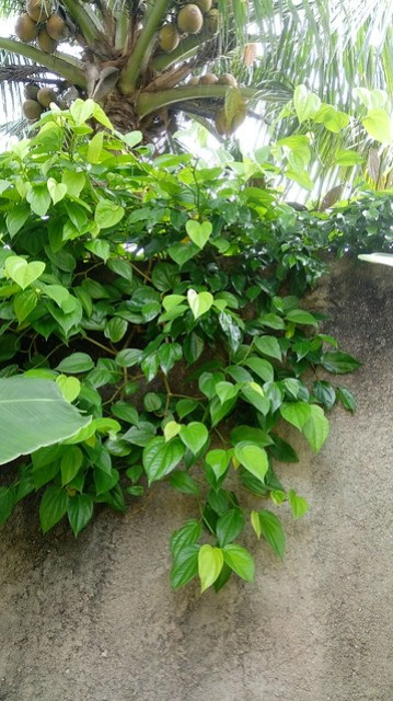 Betel leaves / sirih