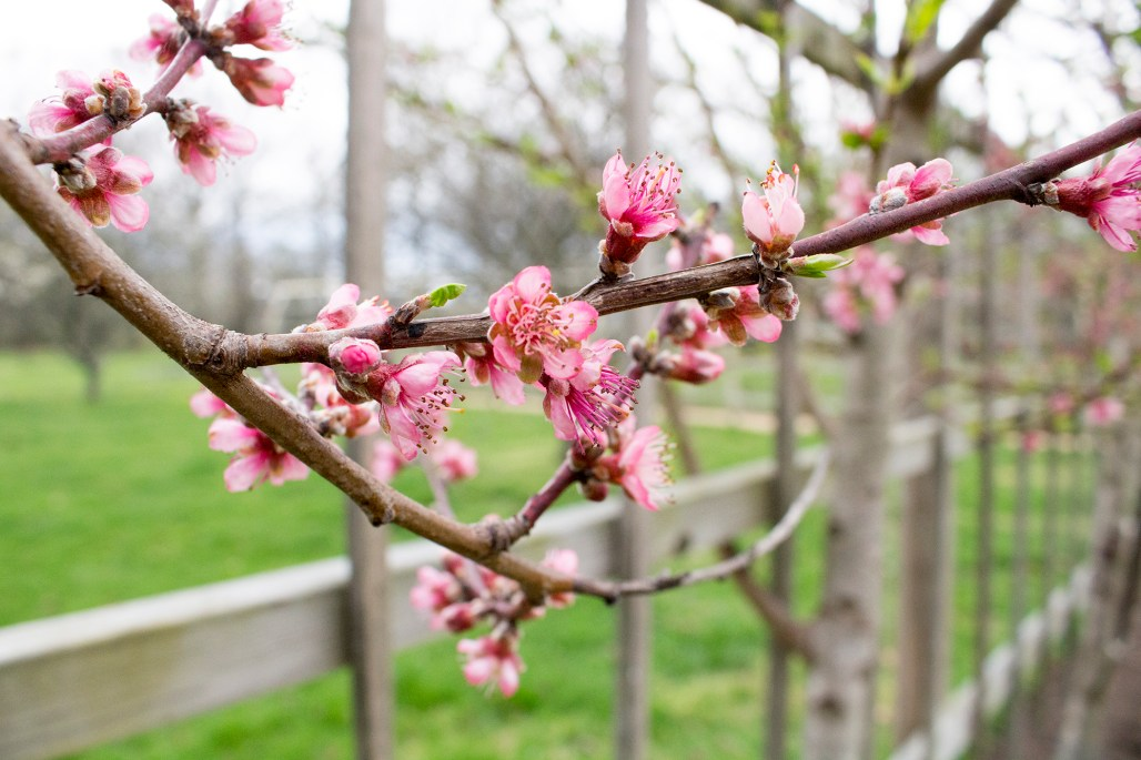 A branch of a peach tree's pink blossoms