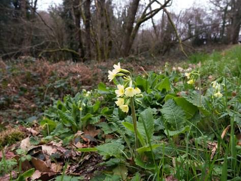 First wild primroses / Primula vulgaris