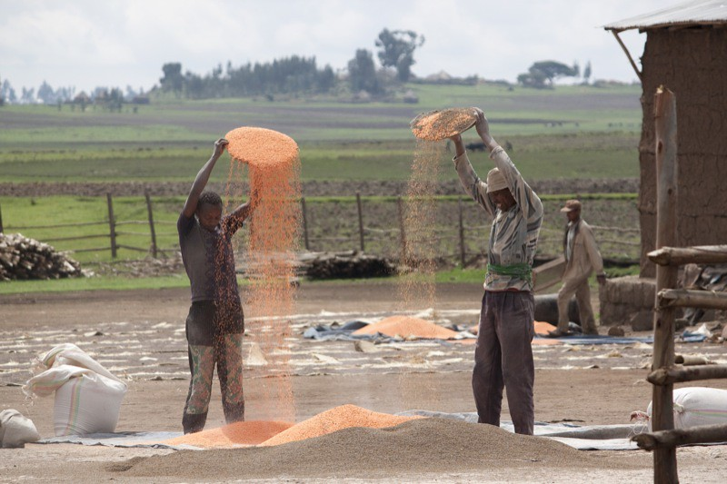 Ethiopian Farmers Winnowing Orange Lentils Farmers