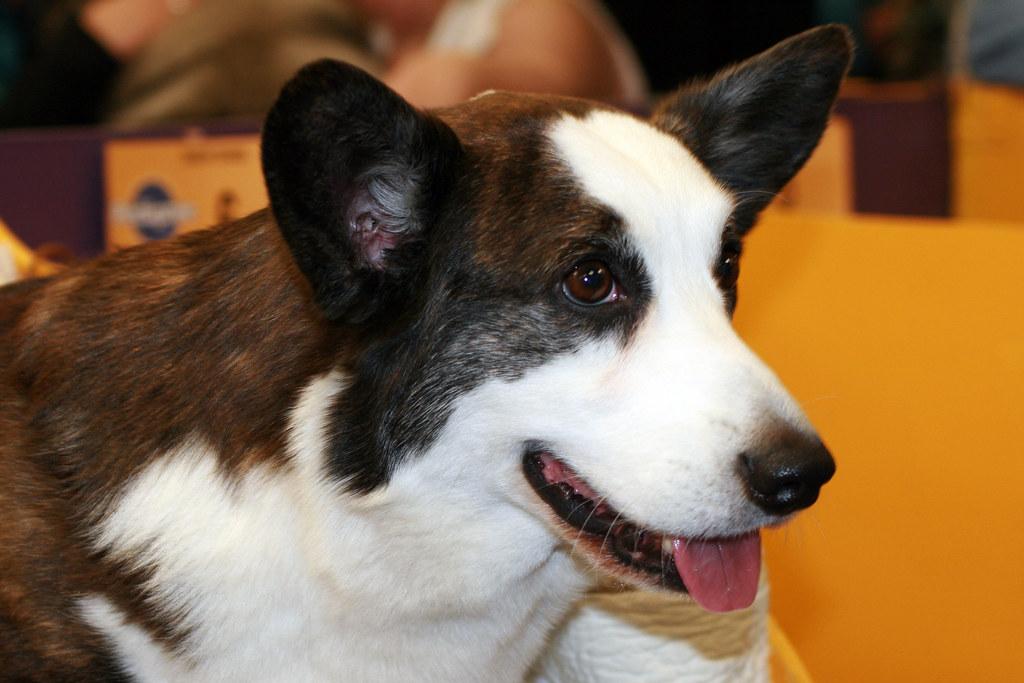Westminster Dog Show Cardigan Welsh Corgi The Cardigan