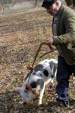 Truffle Hunting With Pig X Truffle Hunting Story On Blog