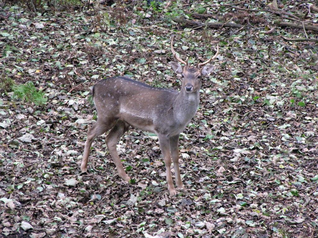 Camoflauge Deer