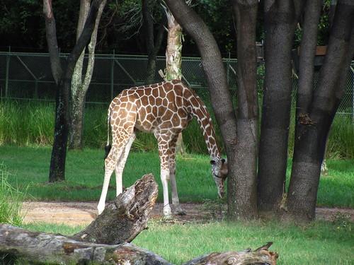 Uzima Savanna at the Jambo House at Animal Kingdom Lodge