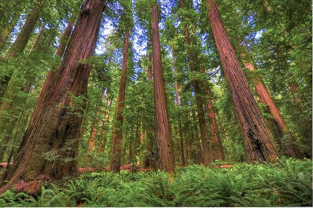 Founder's Grove, Humboldt Redwoods State Park, Humboldt Co., CA