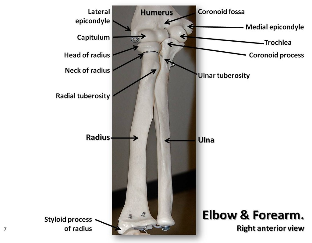 Bones Of The Elbow And Forearm Anterior View With Labels