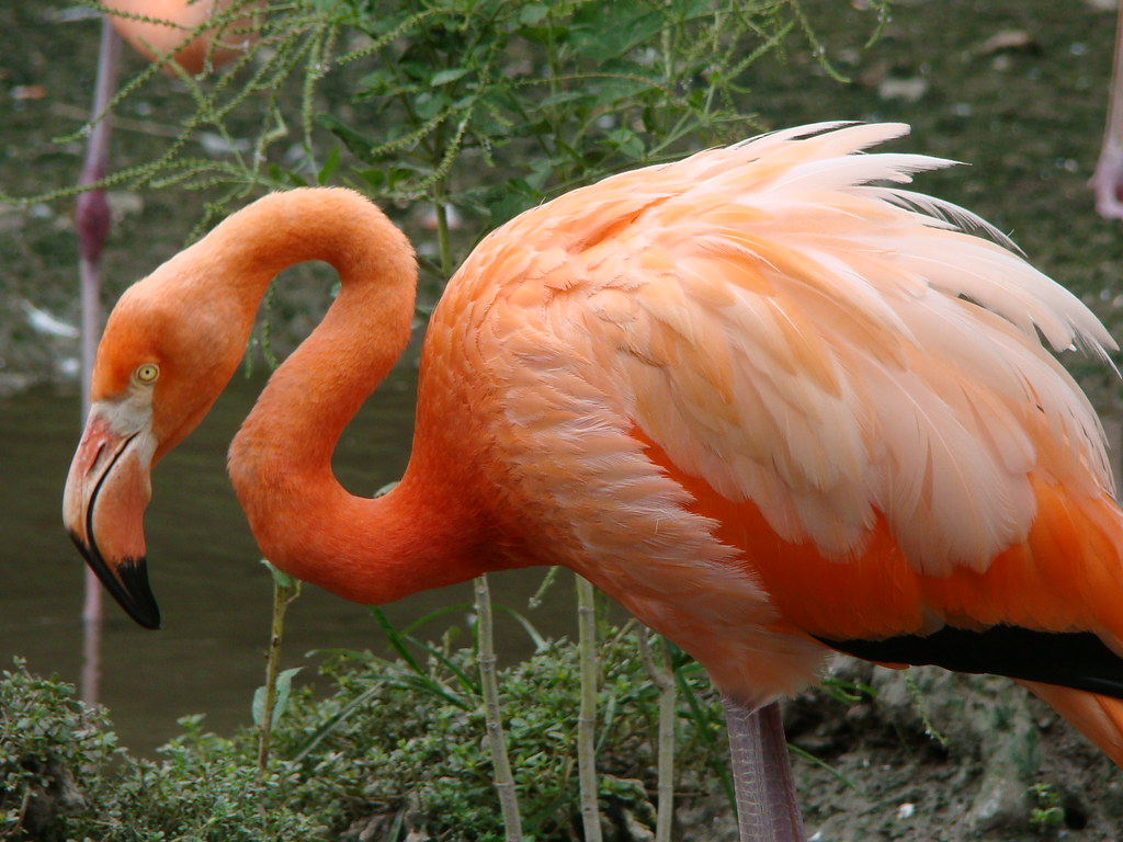 The Caribbean Flamingo This One From Miami Zoo Is A Nati