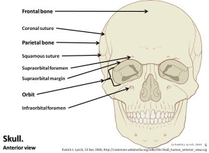 Skull diagram, anterior view with labels part 1  Axial Sk