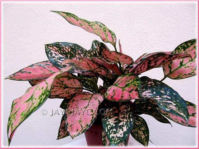 Aglaonema Valentine A Thai Hybrid With Pinkgreen Varie