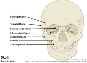 Skull diagram, anterior view with labels part 2  Axial Sk