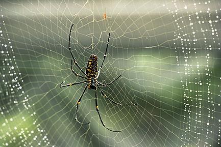 人面蜘蛛-