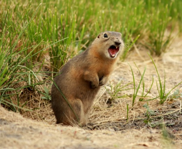 quotPrairie dogquot Ground Squirrel Cynomys sub speices unknow