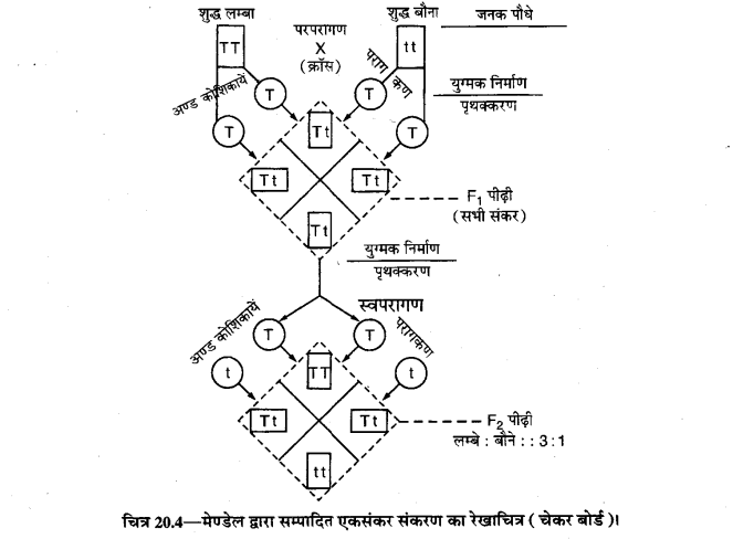 UP Board Solutions for Class 10 Science आनुवंशिकता के