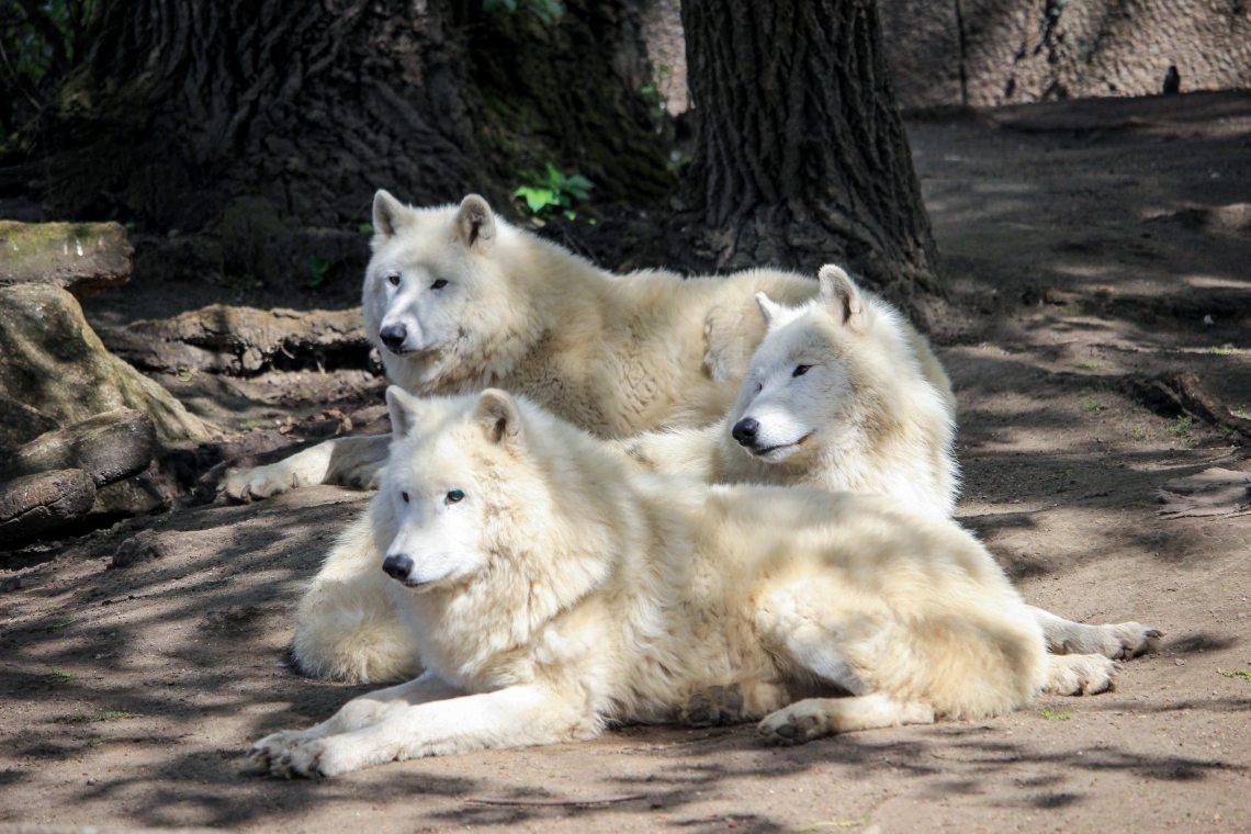 Zoo de Berlin loup blanc