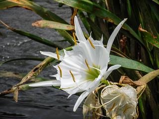 Landsford Canal Spider Lilies-077