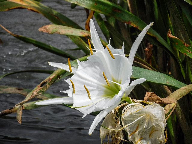 Landsford Canal Spider Lilies-077