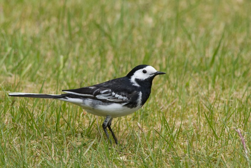 Pied Wagtail foraging in the grass close to the edge of the brook.