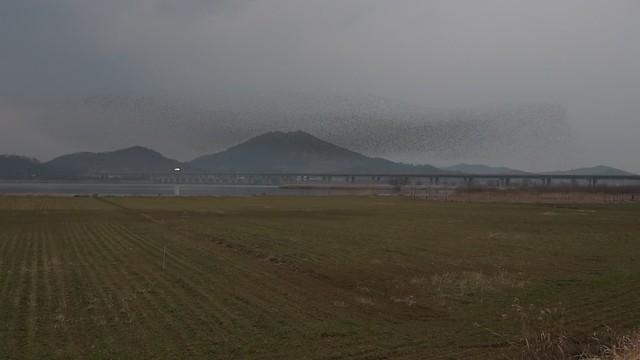 Baikal Teal display at Geumgang Estuary