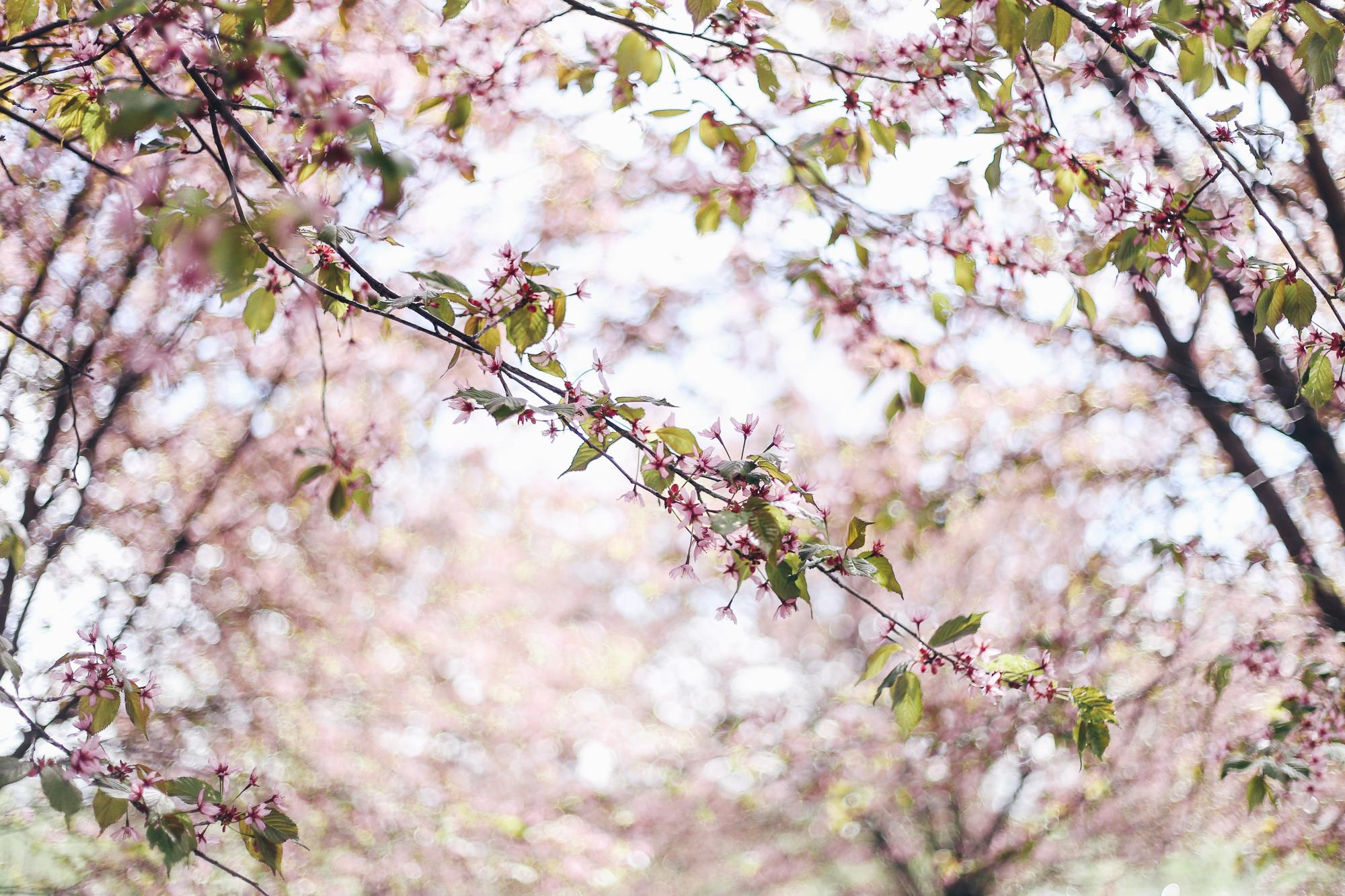kirsikankukkia1