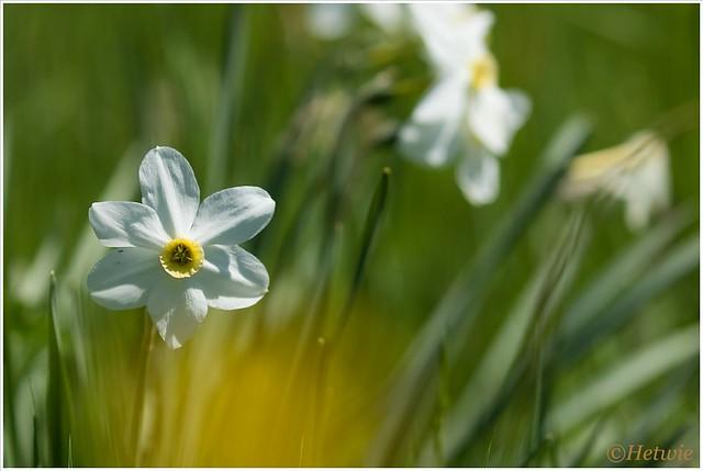 Bloemen zoals wilde narcissen en boterbloempjes kleuren de weide.