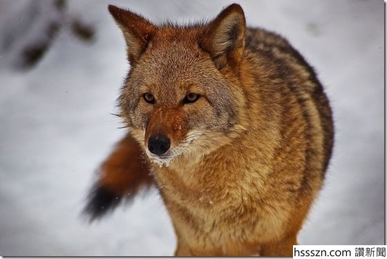 Coyote_thumb_560_375