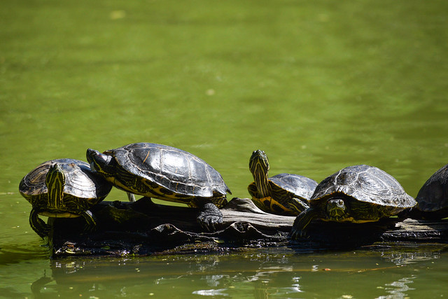 Turtles in Stow Lake