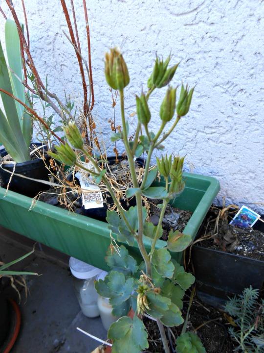 Fruit of Aquilegia vulgaris Blue Barlow