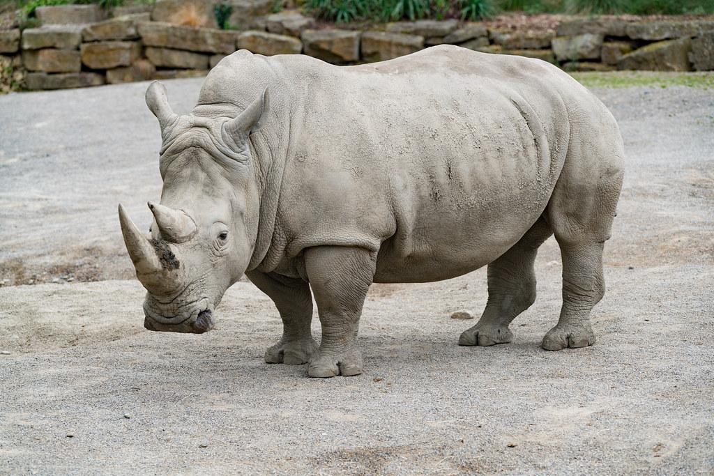 Southern White Rhinos Dublin Zoo Phoenix Park 128962