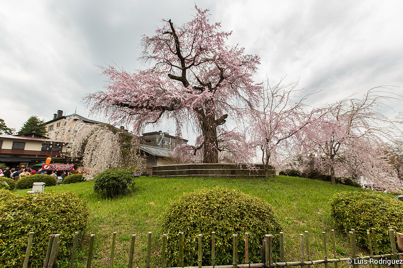 Maruyama-Park-Kioto-4