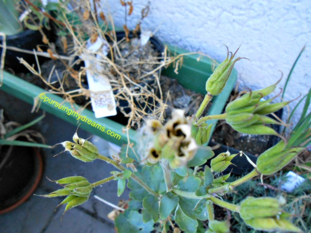 Aquilegia seed pods