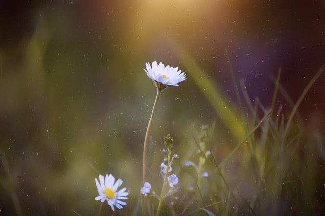 daisy-2400049_960_720