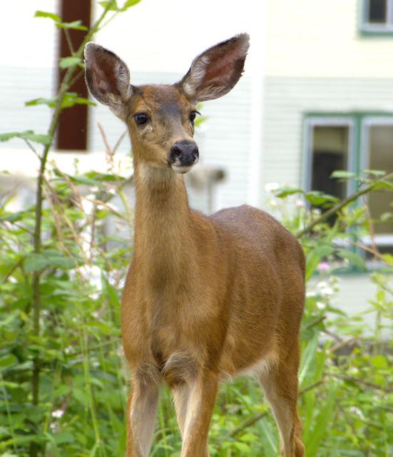 Deer on Hayden Island